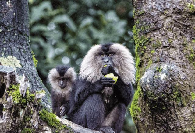 Lion-tailed Macaque- Annamalai Wildlife Sanctuary, Tamil Nadu