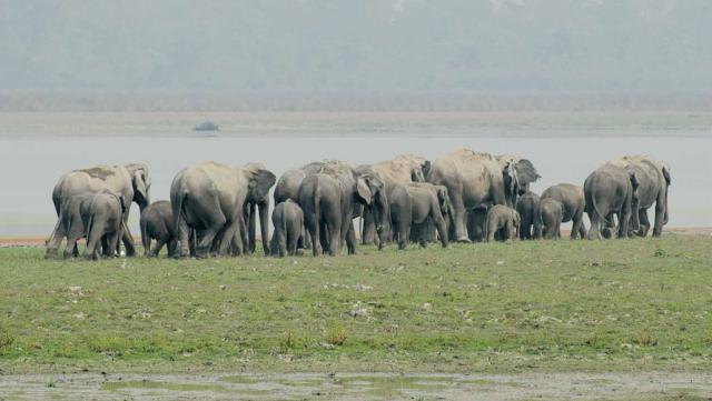 Asiatic Elephant- Kaziranga National Park, Assam